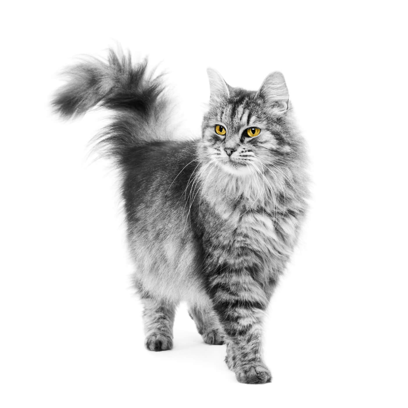 cat-walking